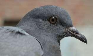 Cresterea porumbeilor de casa