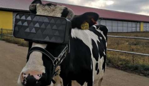 Intr-o ferma din apropierea Moscovei, s-au testat ochelari VR pentru vaci