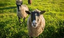 Zece lectii despre folosirea antibioticelor la oi