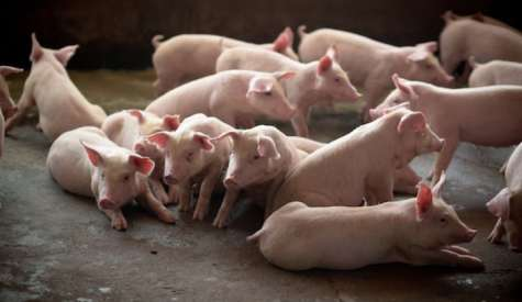 Ministerul Agriculturii si Dezvoltarii Rurale renunta la masurile propuse pentru cresterea porcilor