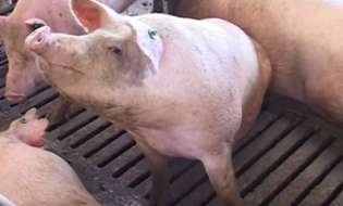 Alegerea locatiei unei ferme de porci