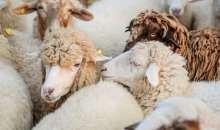 Descoperirile din domeniul geneticii ovine ar putea ajuta fermierii sa produca animale mai sanatoase.
