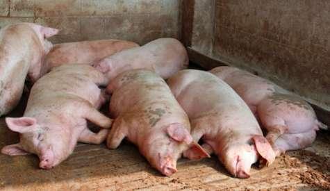 Variatiile de greutate la porci pot fi manageriate
